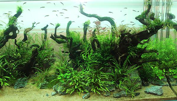 初级篇 1、水草状态。 水草造景的基础是什么,毫无疑问,就是水草的状态。这一点我就无需多说了,所谓皮之不存毛将安附焉,水草状态不好,一切布景的设想都是奢望,除非你搞的是无草缸。至于如何养好水草,熟悉你所喜欢的水草的生活环境,这些问题通过翻阅水草资料与亲身实践来获得。迪茨公司提供专业的水草造景培训。 2、布景手法。 这是一个非常广泛的概念,在我们之前的消息中也提到过,在这不在详细说。  3、修剪技巧。 我们水草缸里会种植一些长得很快的水草,而这些水草(通常是阳性草)必须要经过足够的修剪才能成景。正如路边的树