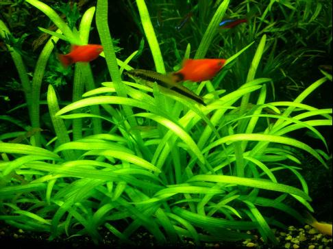 超白鱼缸水草造景课堂之前景草介绍(前景草篇一)