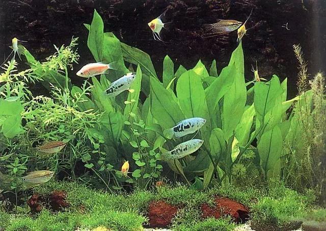 鱼缸水草藻怎么处理:水草的病害与藻害